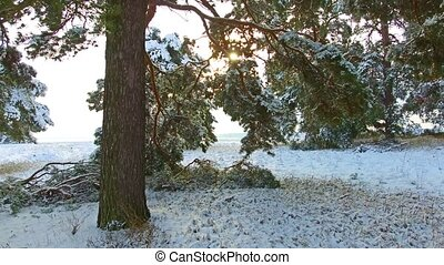 Winter Pine Forest with Snowy Christmas Trees. Snow falling and covered fir trees on a winter day. Winter background steadicam shot. christmas tree the beauty nature landscape outdoors