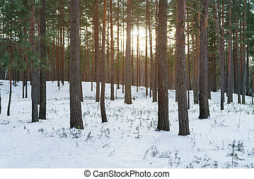 winter pine forest with sunset light