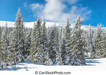 Winter pine trees in snow