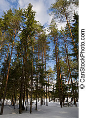 Winter pine wood