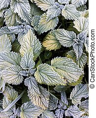 Winter plants texture background. Nettle leaves in hoarfrost