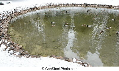 winter pond with water birds - winter pond landscape with...