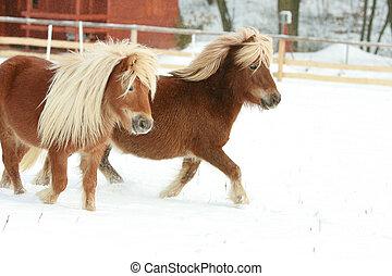winter, ponnies, zwei, langer, rennender , mähne, prächtig