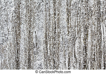 Winter Poplar Trees Stand Erect in a Snowstorm