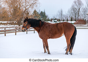 Winter portrait of a brown thoroughbred horse in the snow