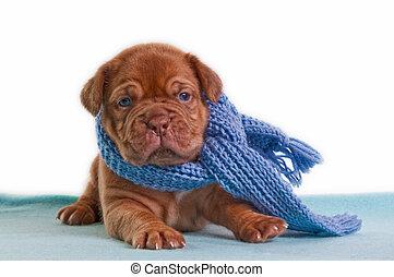 winter puppy - newborn puppy with a blue shawl sitting