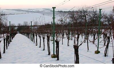 winter., rangées, neige, vignobles, couvert, blanc, sunset.