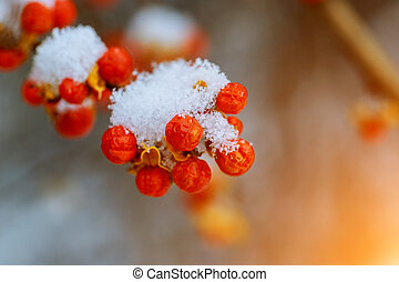 Red berries of mountain ash under the snow.