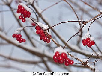 winter ripe arrowwood