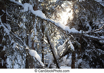 Winter road in a snowy forest, tall trees along the road.