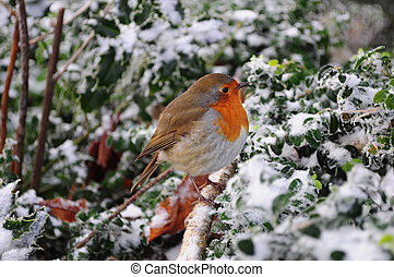 Robin The UK's favourite bird - with its bright red breast it is familar throughout the year and especially at Christmas! Males and females look identical, and young birds have no red breast and are spotted with golden brown. Robins sing nearly all year round and despite their cute appearance, they ...