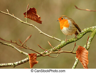 Winter Robin - Robin The UK's favourite bird - with its...