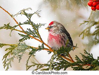 winter., samiec, wspólny, redpoll