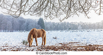 Winter scene with snow and brown Konik horse in Dutch national park Veluwezoom