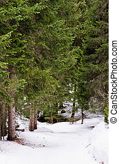Pine forest covered with snow, Haute savoie, France.