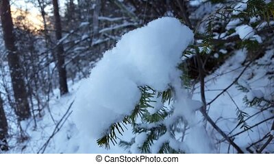 winter scenery with snow falling and spruce covered with snow