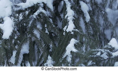 Winter scenery with snow falling slowly and spruce covered with snow