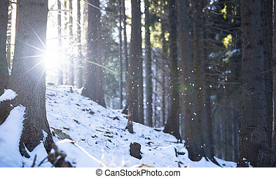 Winter scene.Snowing in the forest through the pine trees