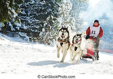 winter, schlittenhund, rennsport, musher, und, sibirischer...
