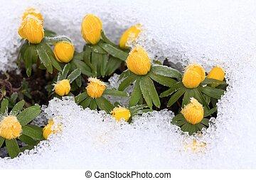 winter, schnee, /, hyemalis/, eranthis, eisenhut