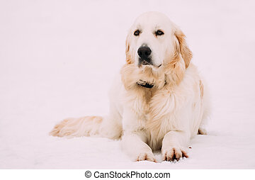 winter, sitzen, jahreszeit, schnee, hund, weißes, apportierhund, labrador