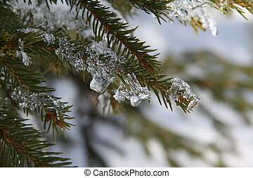In the winter forest. Pine branch covered with snow.