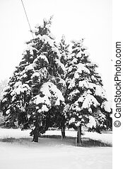 winter snow covered fir trees on the background of the cloudy sky black and white photo