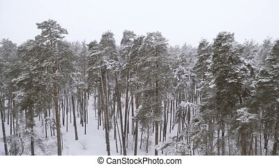 Winter. Snow covered pine forest