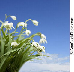 winter snowdrops against a blue sky
