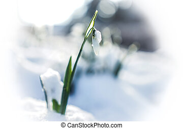 Winter - Snowdrops in the snow