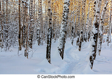 Winter snowy birch grove and footpath in the sunset light