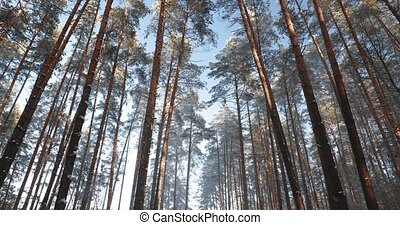 Winter Snowy Coniferous Forest. Pan, Panorama.