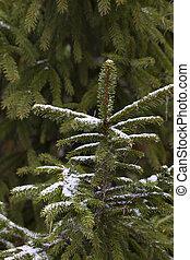 Winter. Spruce. Snow.