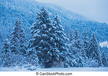 Winter spruses in the mountains during storm