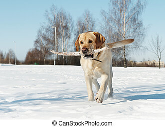 winter, stock, labrador