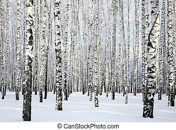 Winter sunny birch forest in January