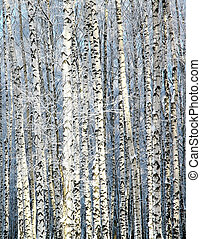 Winter sunny birch grove