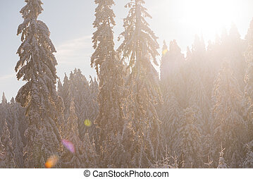 pine tree forest background covered with fresh snow