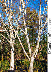Winter sunshine on two Silver Birch trees in East Grinstead