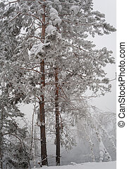 Winter - Taiga along the Bank of the Yenisey River in winter...