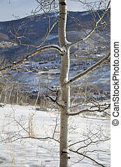 Winter - Tall Aspen Tree in the Snow