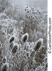Winter thistles - Cold frosty scene with thistles focused in...