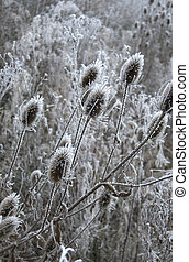 Winter thistles - Ice covered winter thistles on a frosty...