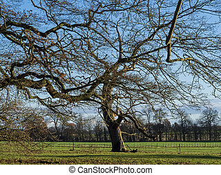 Winter tree in a green field with a blue sky, North Yorkshire, England