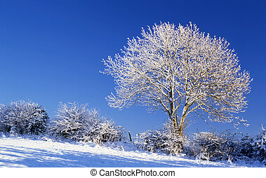 Snow covered ash tree in winter sunshine