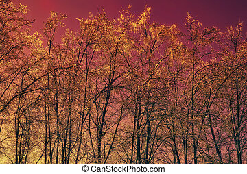 Winter trees against the red sky