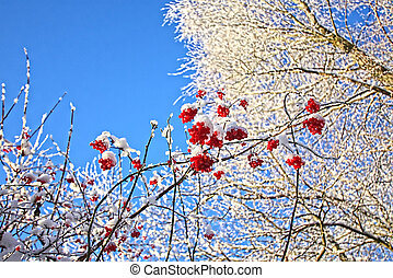 Winter, trees and berries against blue sky