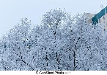 Winter trees in frost