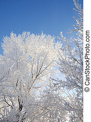 winter. Trees in hoarfrost. blue sky. The coldest time of year, a grayish-white crystalline deposit of frozen water vapor formed in clear still weather on vegetation, fences,
