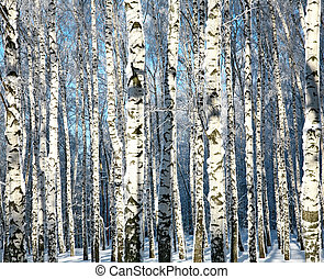 Winter trunks of birch trees in sunlight
